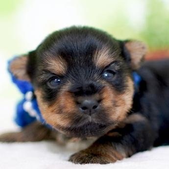 ヨークシャーテリアの子犬(ID:1269711023)の1枚目の写真/更新日:2018-07-30