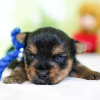 ヨークシャーテリアの子犬(ID:1269711023)の3枚目の写真/更新日:2018-07-30