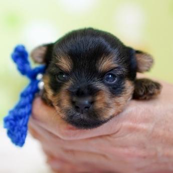 ヨークシャーテリアの子犬(ID:1269711023)の4枚目の写真/更新日:2019-05-17