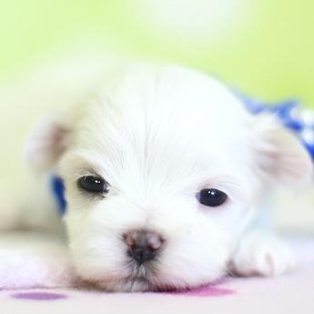 マルチーズの子犬(ID:1269711024)の1枚目の写真/更新日:2018-04-06