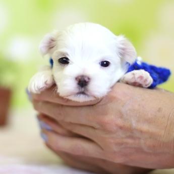 マルチーズの子犬(ID:1269711024)の2枚目の写真/更新日:2018-04-06