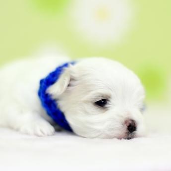 マルチーズの子犬(ID:1269711024)の3枚目の写真/更新日:2018-04-06