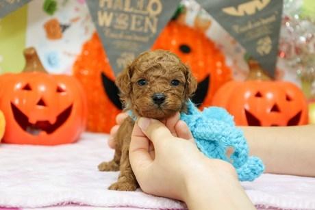 トイプードルの子犬(ID:1269711025)の1枚目の写真/更新日:2018-04-23