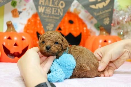 トイプードルの子犬(ID:1269711025)の2枚目の写真/更新日:2018-04-23
