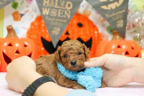 トイプードルの子犬(ID:1269711025)の3枚目の写真/更新日:2019-04-29