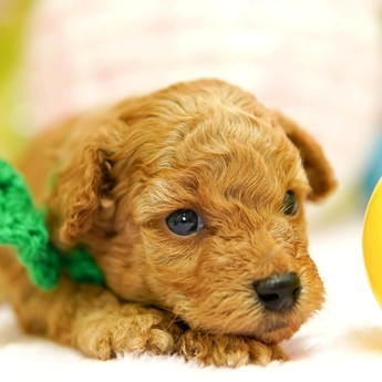 トイプードルの子犬(ID:1269711026)の1枚目の写真/更新日:2019-04-29