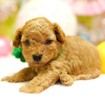 トイプードルの子犬(ID:1269711026)の2枚目の写真/更新日:2019-04-29