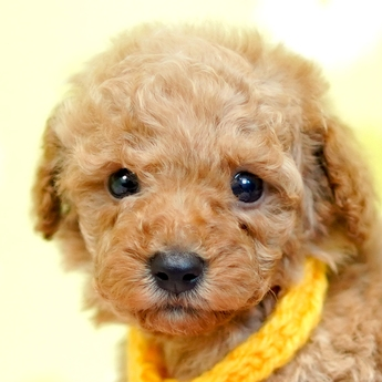 トイプードルの子犬(ID:1269711027)の1枚目の写真/更新日:2019-04-29