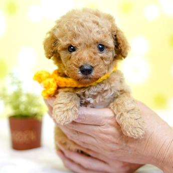 トイプードルの子犬(ID:1269711027)の2枚目の写真/更新日:2019-04-29