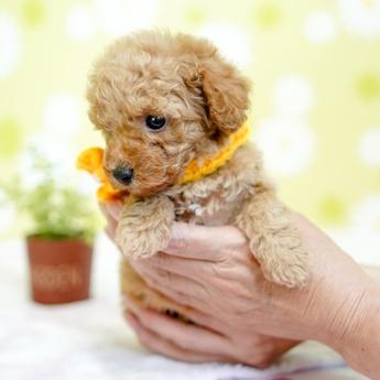 トイプードルの子犬(ID:1269711027)の3枚目の写真/更新日:2019-04-29