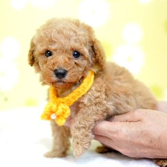 トイプードルの子犬(ID:1269711027)の4枚目の写真/更新日:2019-04-29
