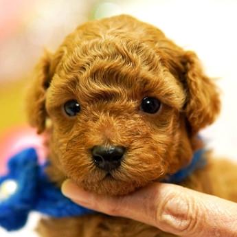 トイプードルの子犬(ID:1269711028)の1枚目の写真/更新日:2018-04-23