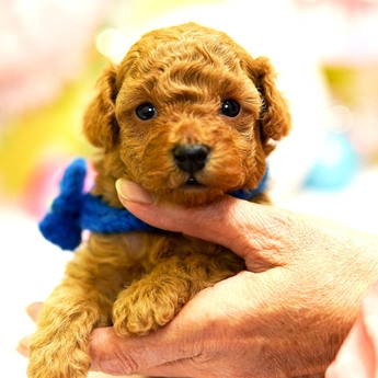 トイプードルの子犬(ID:1269711028)の2枚目の写真/更新日:2019-04-29