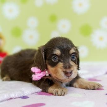 カニンヘンダックスフンド(ロング)の子犬(ID:1269711029)の2枚目の写真/更新日:2018-05-21