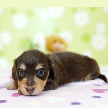 ミニチュアダックスフンド(ロング)の子犬(ID:1269711029)の3枚目の写真/更新日:2019-07-06