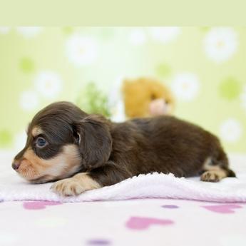 ミニチュアダックスフンド(ロング)の子犬(ID:1269711029)の4枚目の写真/更新日:2019-07-06
