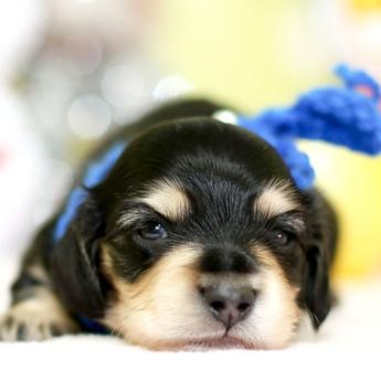 ミニチュアダックスフンド(ロング)の子犬(ID:1269711030)の1枚目の写真/更新日:2019-07-06