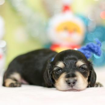 ミニチュアダックスフンド(ロング)の子犬(ID:1269711030)の2枚目の写真/更新日:2019-07-06