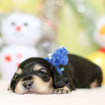 ミニチュアダックスフンド(ロング)の子犬(ID:1269711030)の3枚目の写真/更新日:2019-07-06