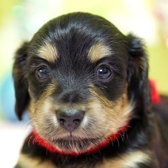 ミニチュアダックスフンド(ロング)の子犬(ID:1269711031)の1枚目の写真/更新日:2019-07-06