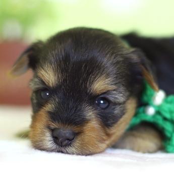 ヨークシャーテリアの子犬(ID:1269711032)の1枚目の写真/更新日:2018-05-21