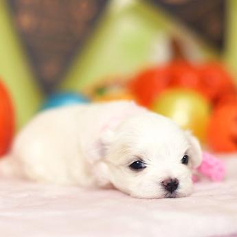 マルチーズの子犬(ID:1269711033)の2枚目の写真/更新日:2018-06-12