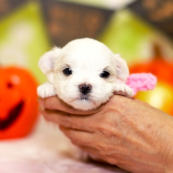 マルチーズの子犬(ID:1269711033)の3枚目の写真/更新日:2018-06-12