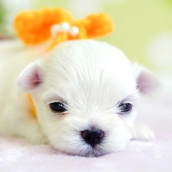 マルチーズの子犬(ID:1269711034)の1枚目の写真/更新日:2018-06-12