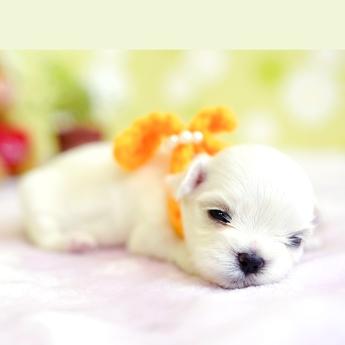 マルチーズの子犬(ID:1269711034)の2枚目の写真/更新日:2018-06-12