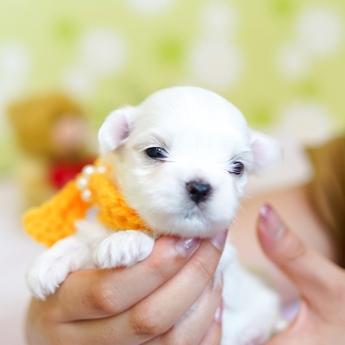 マルチーズの子犬(ID:1269711034)の3枚目の写真/更新日:2018-06-12