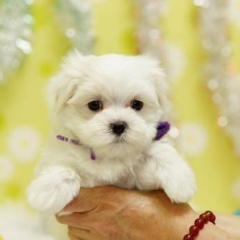 マルチーズの子犬(ID:1269711041)の1枚目の写真/更新日:2019-10-07