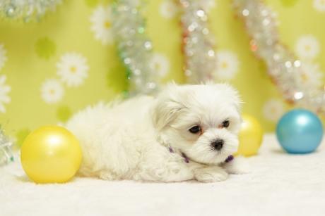 マルチーズの子犬(ID:1269711041)の3枚目の写真/更新日:2019-10-07