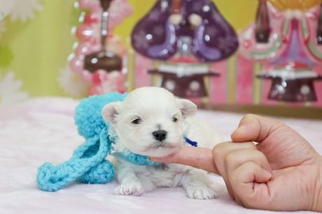 ミックスの子犬(ID:1269711042)の2枚目の写真/更新日:2019-01-11