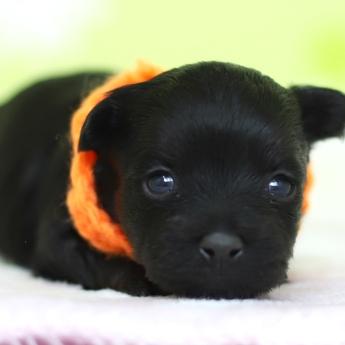 ミックスの子犬(ID:1269711043)の1枚目の写真/更新日:2019-01-11