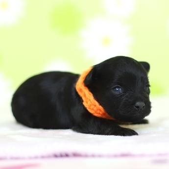 ミックスの子犬(ID:1269711043)の3枚目の写真/更新日:2019-01-11