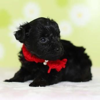 ミックスの子犬(ID:1269711045)の3枚目の写真/更新日:2019-02-12