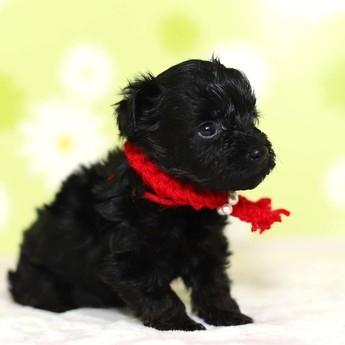 ミックスの子犬(ID:1269711045)の4枚目の写真/更新日:2019-02-12