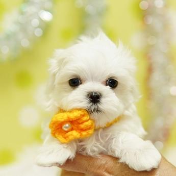 マルチーズの子犬(ID:1269711046)の1枚目の写真/更新日:2019-10-07