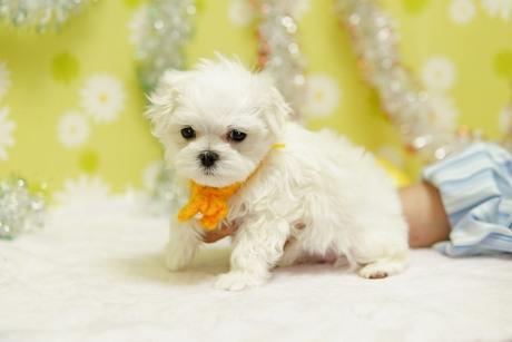 マルチーズの子犬(ID:1269711046)の2枚目の写真/更新日:2019-10-07