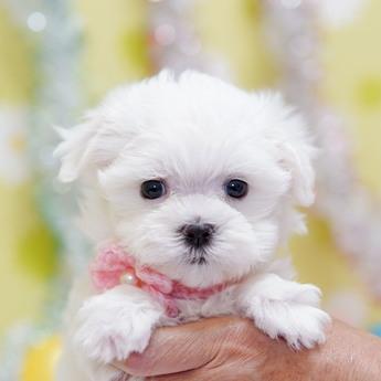 マルチーズの子犬(ID:1269711047)の1枚目の写真/更新日:2019-10-07