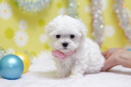 マルチーズの子犬(ID:1269711047)の2枚目の写真/更新日:2019-10-07