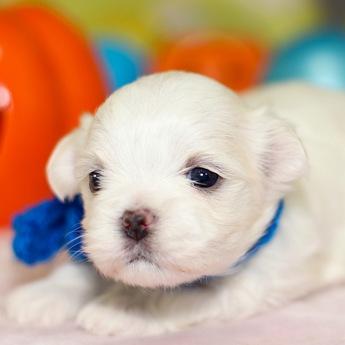 マルチーズの子犬(ID:1269711048)の2枚目の写真/更新日:2019-11-12