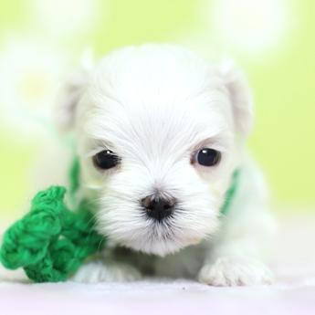 マルチーズの子犬(ID:1269711050)の1枚目の写真/更新日:2019-02-04