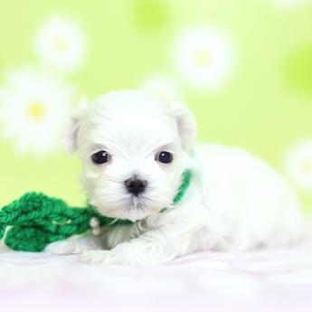 マルチーズの子犬(ID:1269711050)の2枚目の写真/更新日:2019-02-04
