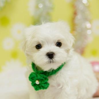 マルチーズの子犬(ID:1269711051)の1枚目の写真/更新日:2019-02-04