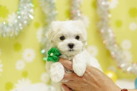 マルチーズの子犬(ID:1269711051)の2枚目の写真/更新日:2019-02-04