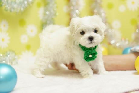 マルチーズの子犬(ID:1269711051)の3枚目の写真/更新日:2019-02-04