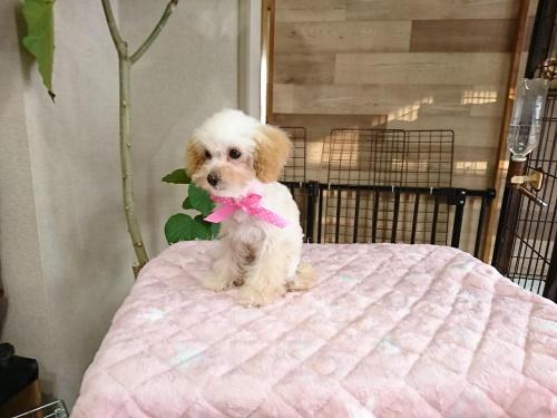 トイプードルの子犬(ID:1269811005)の1枚目の写真/更新日:2017-12-16