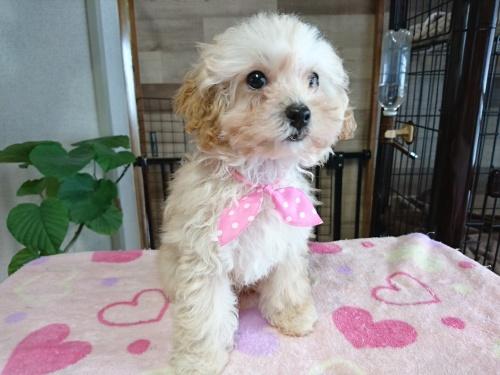 トイプードルの子犬(ID:1269811005)の2枚目の写真/更新日:2017-10-25