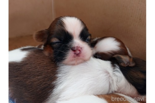 シーズーの子犬(ID:1269811007)の2枚目の写真/更新日:2021-07-10